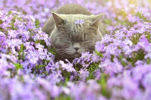 sleepy-grey-cat-among-purple-flowers-wide-i